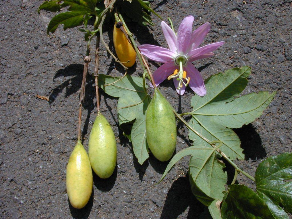 Hướng dẫn các bước gieo hạt trồng chanh leo chuối mới lạ độc đáo