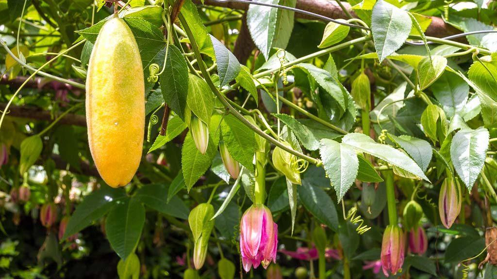 Các bước gieo hạt trồng chanh leo chuối mới lạ độc đáo