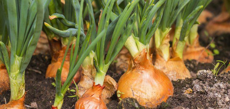 Tuyệt chiêu trồng hành tây từ củ kích thích ra rễ