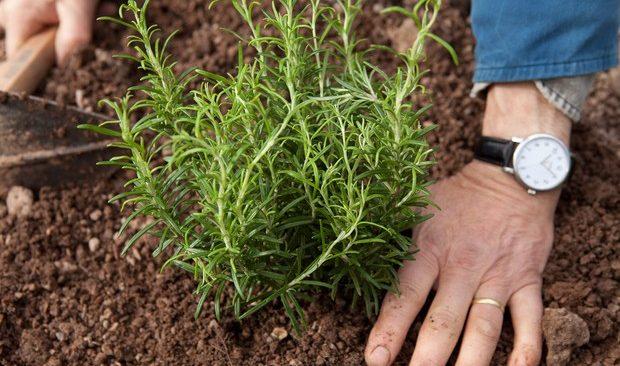 Bí quyết gieo hạt trồng cây hương thảo cho căn bếp thơm mát