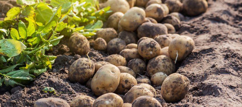 Hướng dẫn cách gieo hạt trồng cây khoai tây đơn giản tại nhà