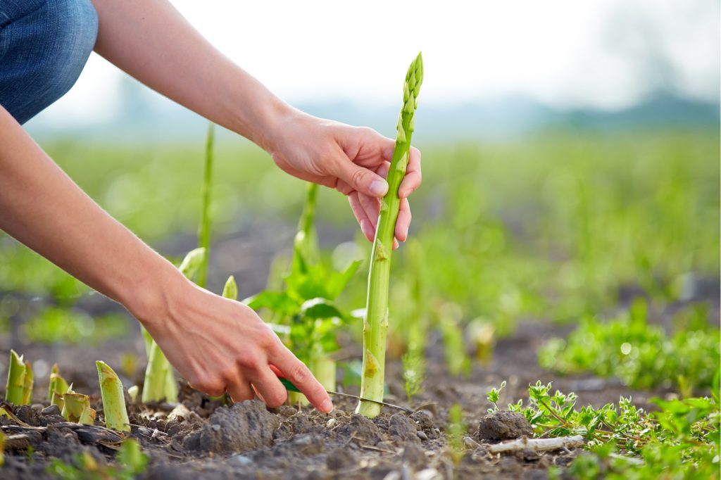 Vào mùa thu, khi cây sinh trưởng mạnh, có thể tách mầm để trồng mới.