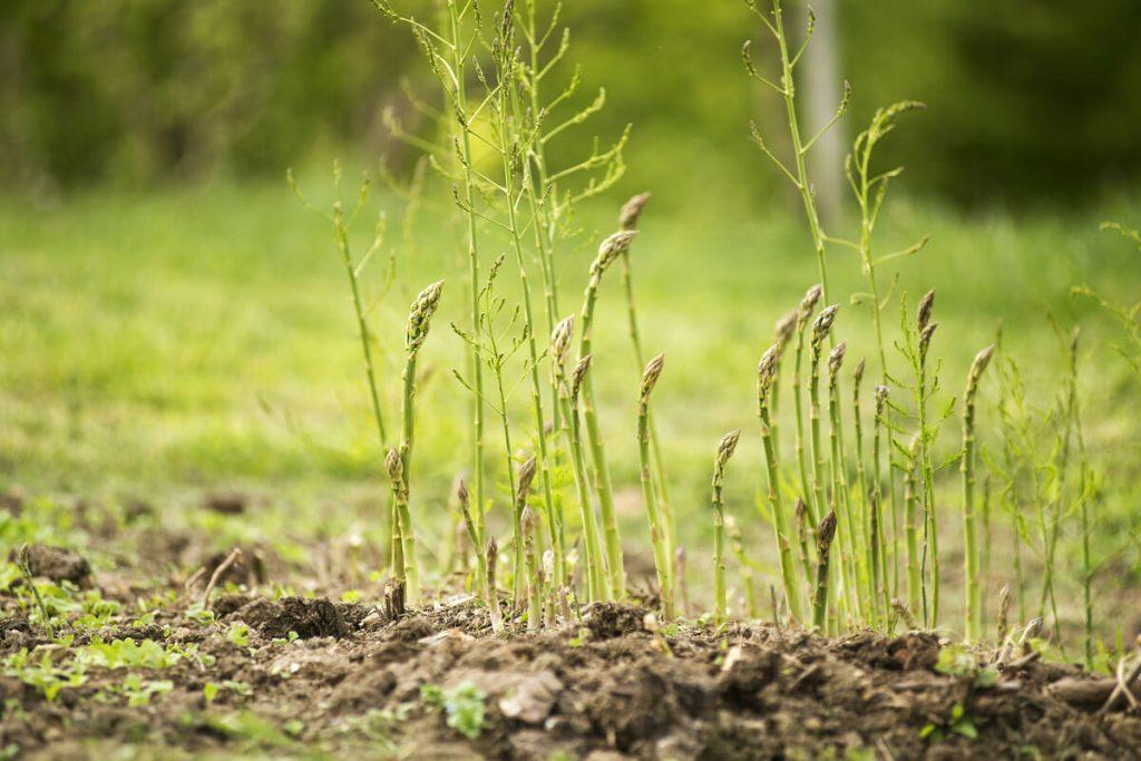 Măng tây có thể nhân giống bằng hạt hoặc bằng cách tách mầm hoặc trồng trực tiếp bằng cây con