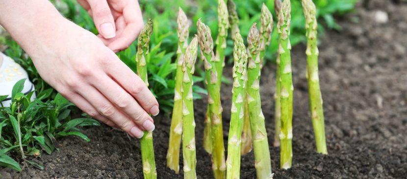 Tuyệt chiêu nhân giống măng tây bằng phương pháp tách mầm
