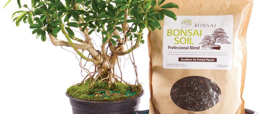 Học cách trồng cây ngũ gia bì làm cảnh để bàn trang trí phòng làm việc