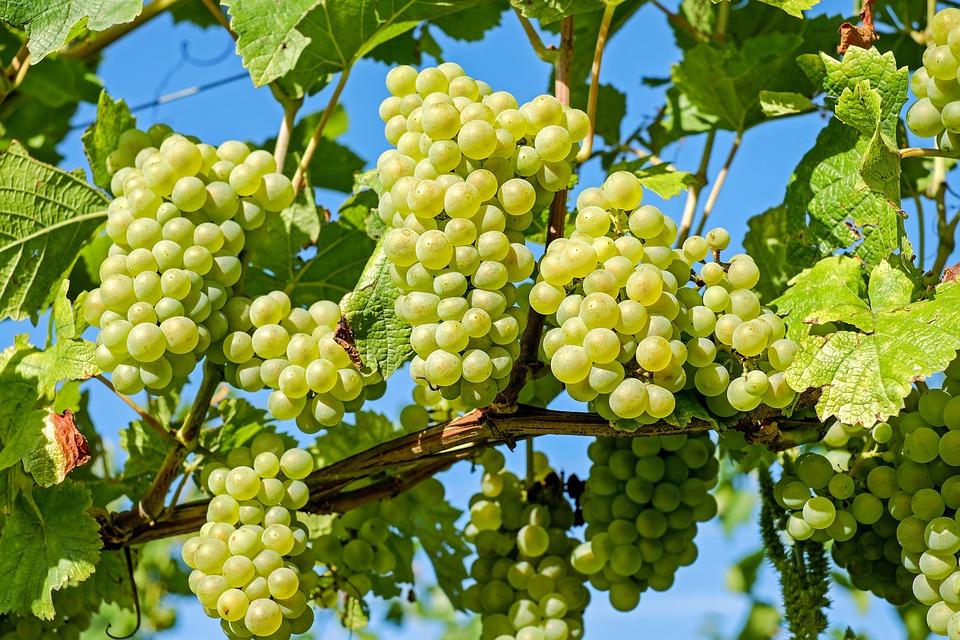 Tuyệt chiêu gieo trồng nho xanh bằng hạt cho quả ngon ngọt