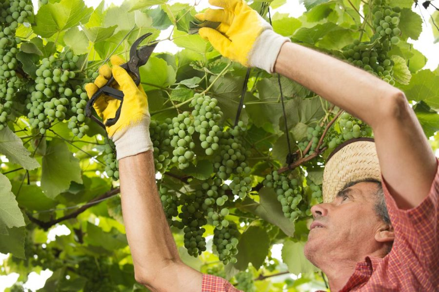 Hướng dẫn cắt tỉa cành cây nho hạn chế sâu bệnh