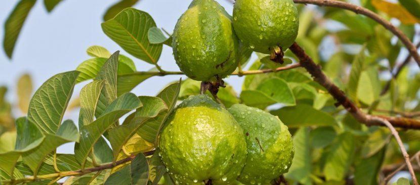 Hướng dẫn kỹ thuật trồng cây ổi bằng hạt cho quả ngon ngọt nhiều vitamin