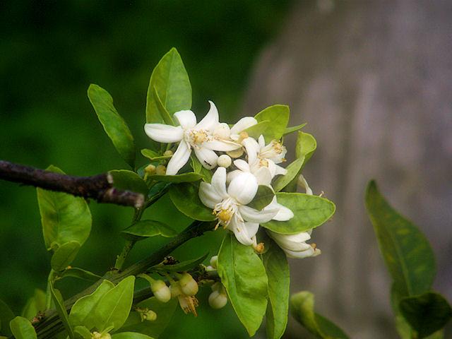 Ngỡ ngàng trước vẻ đẹp của hoa bưởi mang hương thơm nồng nàn