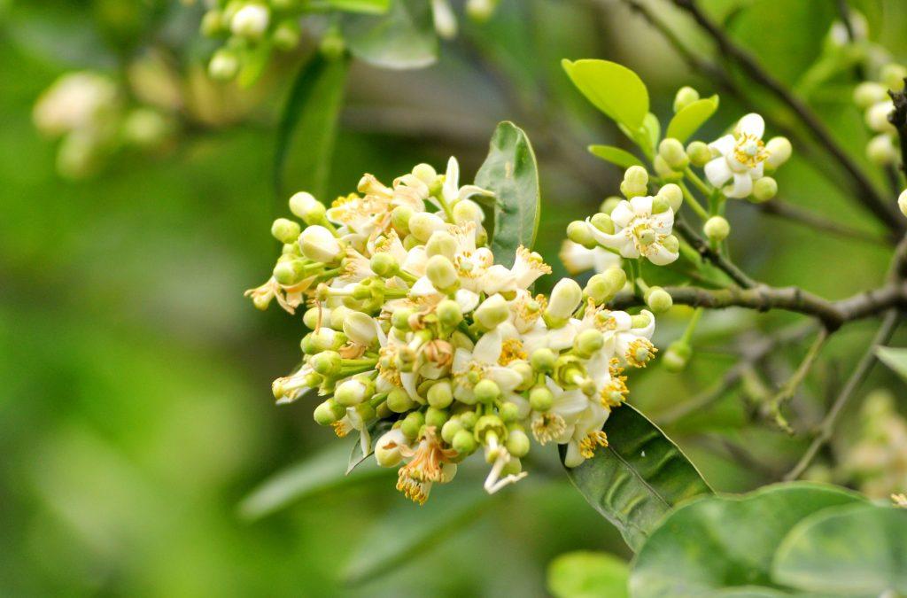 3 phương pháp xử lý bưởi ra hoa phát trển tốt