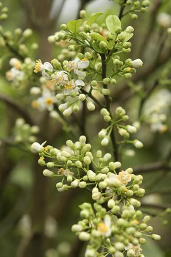 Xử lý ra hoa bằng cách sử dụng hoá chất