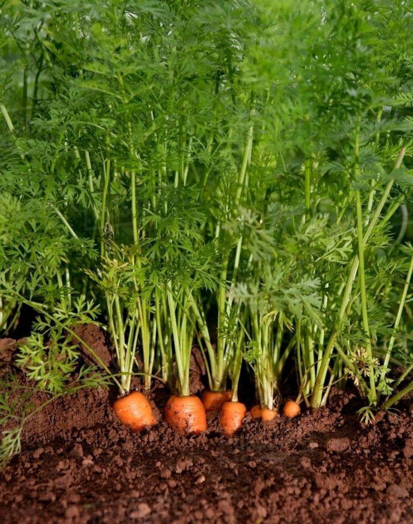 Hãy gieo hạt vào 2-3 tuần trước khi vào vụ đông hoặc vào đầu mùa xuân. Có thể trồng từ khoảng tháng 7 đến tháng 2 năm sau.