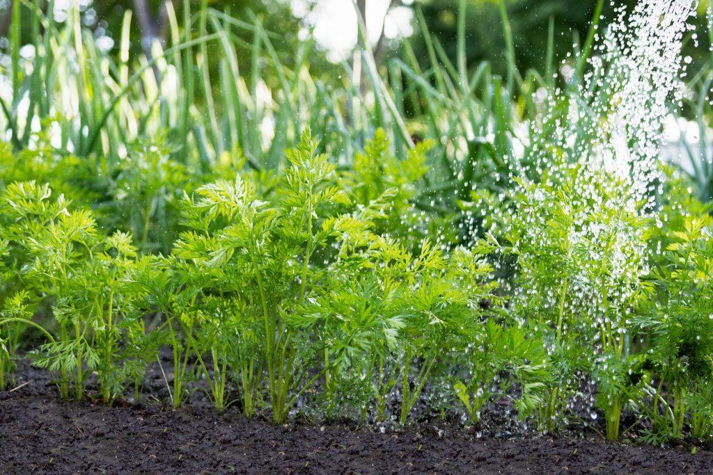 Tưới nước gieo hạt bằng nước ấm. Sau đó giữ cho đất ẩm để tăng tốc độ nảy mầm và tưới bằng nước thường. Chỉ sử dụng nước ấm một lần khi bạn trồng xong hạt giống.