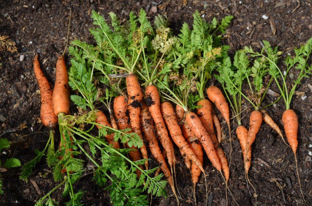 Một số mẹo trồng cà rốt kích thích phát triển tốt