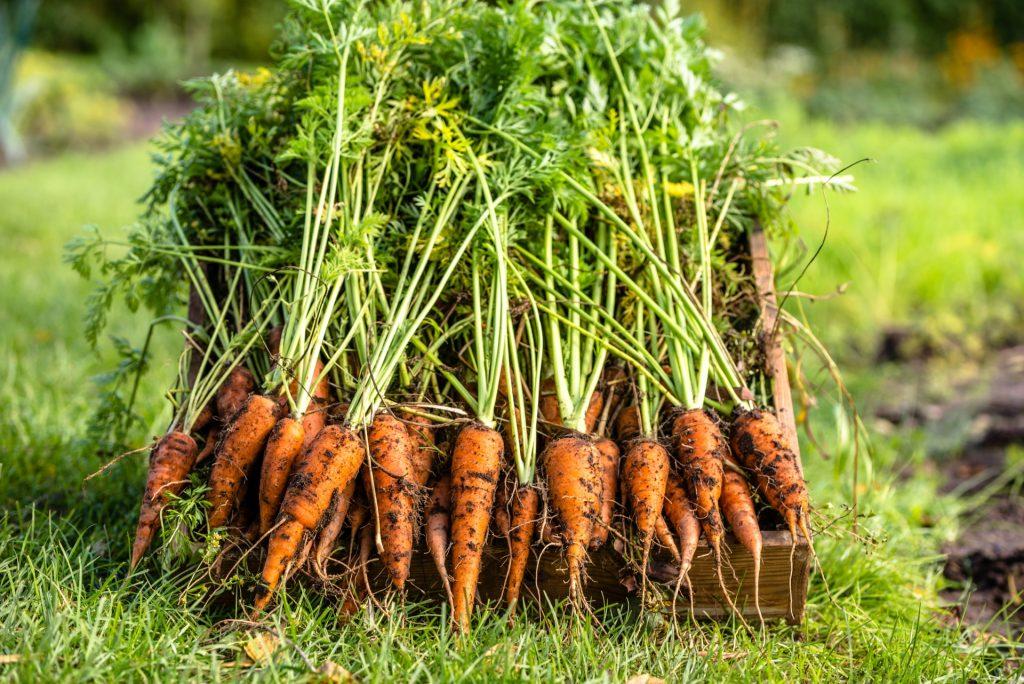 Điểm danh một số mẹo trồng cà rốt tại nhà