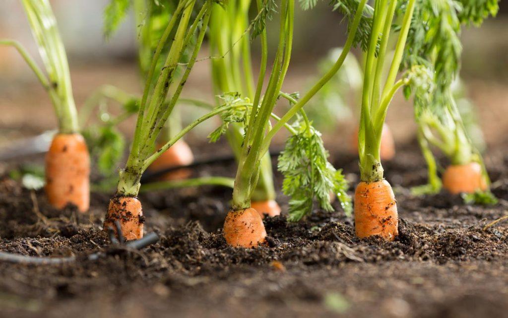 Khi bạn trồng hạt cà rốt, trộn nó với một số hạt củ cải. Củ cải sẽ nảy mầm nhanh hơn và trưởng thành nhanh hơn cà rốt.
