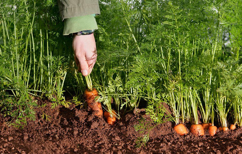 Nhiệt độ nảy mầm hạt giống để trồng cà rốt là từ 42 - 90 F (5,5 - 32 độ C) nhưng nhiệt độ nảy mầm tối ưu là từ 55 - 75 F (12 - 24 độ C).