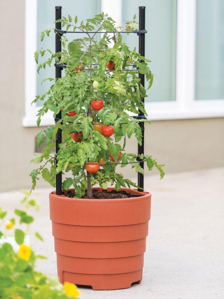 Mách bạn cách trồng cà chua bằng cây con thu hoạch liền tay