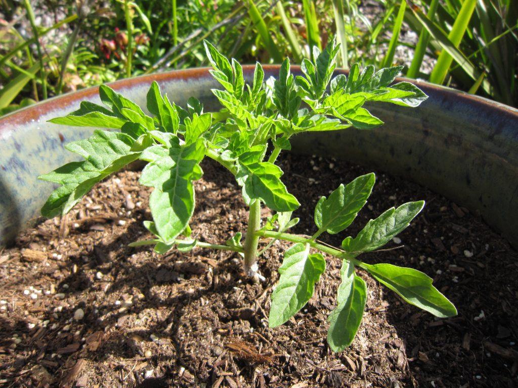 Sau khi trồng cây con, tưới nước ẩm đất và cho chậu ra ngoài nắng dần dần.