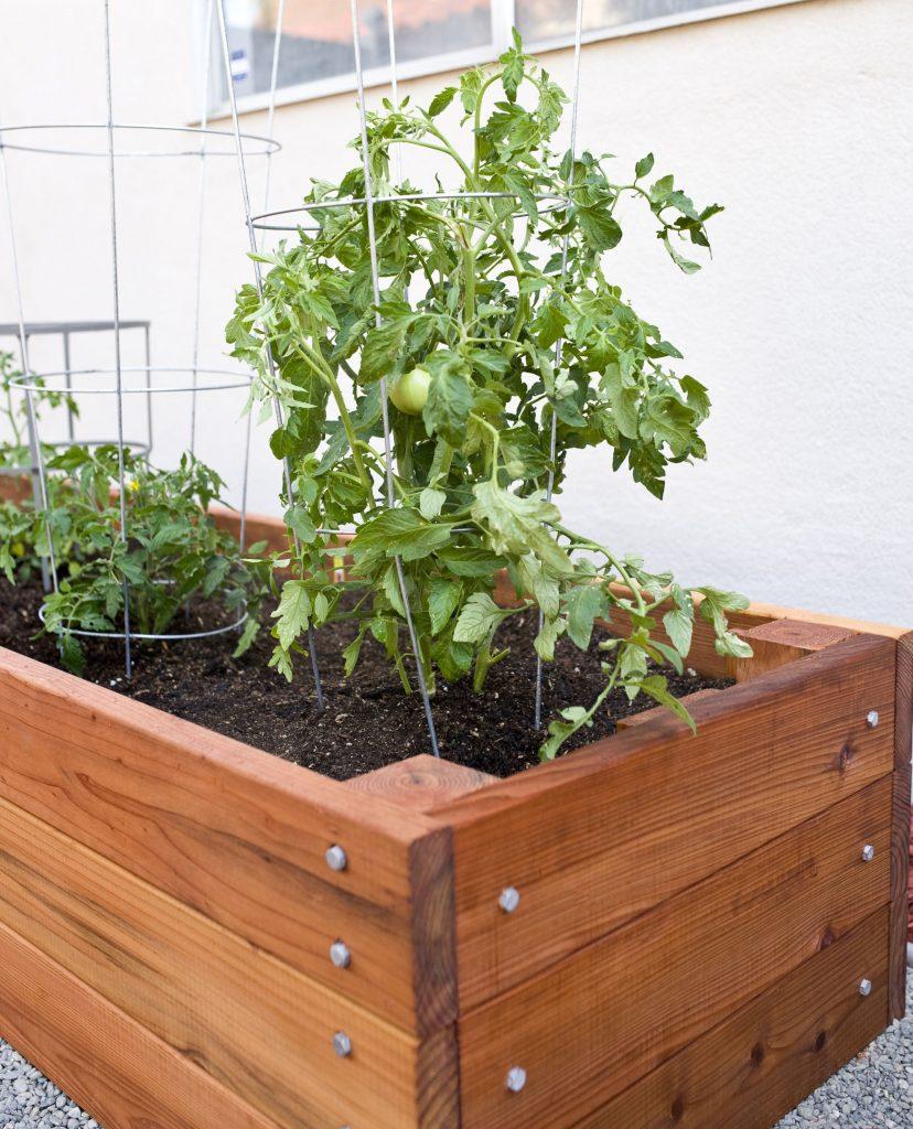 Trồng cà chua trong thùng xốp là phương pháp được nhiều bạn áp dụng. Ban nên đục nhiều lỗ dưới thùng xốp để có thể thoát nước.