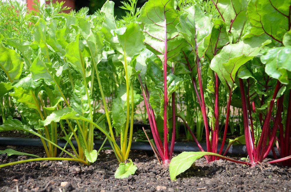 Đổ đất đã chuẩn bị vào chậu trồng sau đó bạn nên gieo chúng ở độ sâu khoảng 1-2 cm và cách nhau 2-4 cm