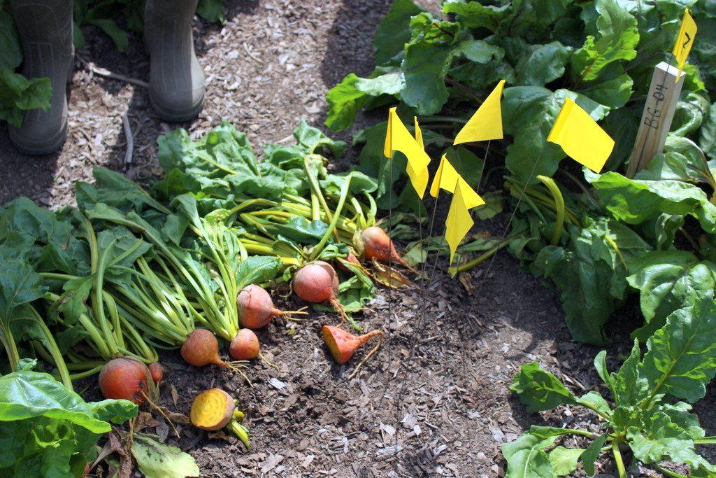 Cây củ cải vàng có đặc điểm là khi hình thành củ, củ thường trồi lên mặt luống làm cho vỏ củ sần sùi.