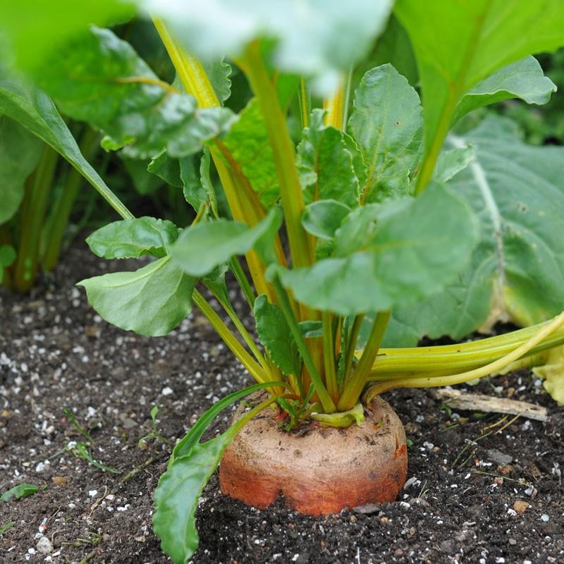 Giữ chậu củ cải vàng luôn ẩm nhưng không ngập nước. Tưới nước thường xuyên và đều đặn sẽ giúp cây mọc nhanh.