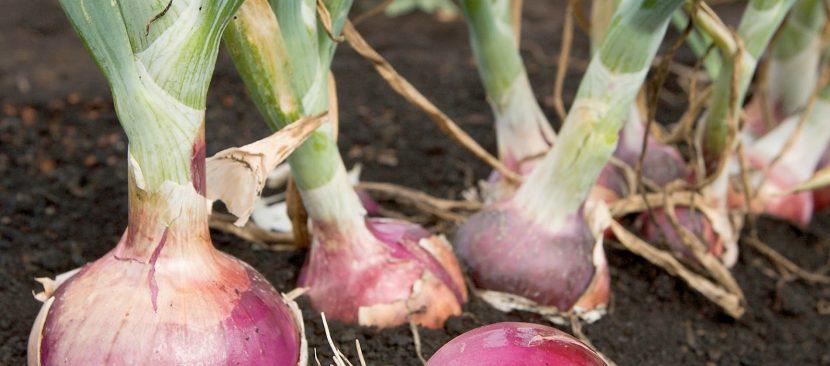 Học ngay cách trồng hành tây tím dễ dàng trong thùng xốp
