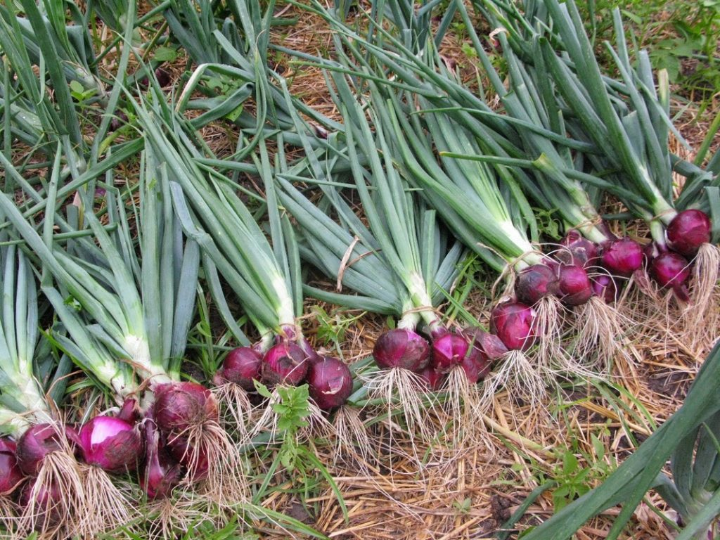 Học ngay cách trồng hành tây tím dễ dàng trong thùng xốp tại nhà