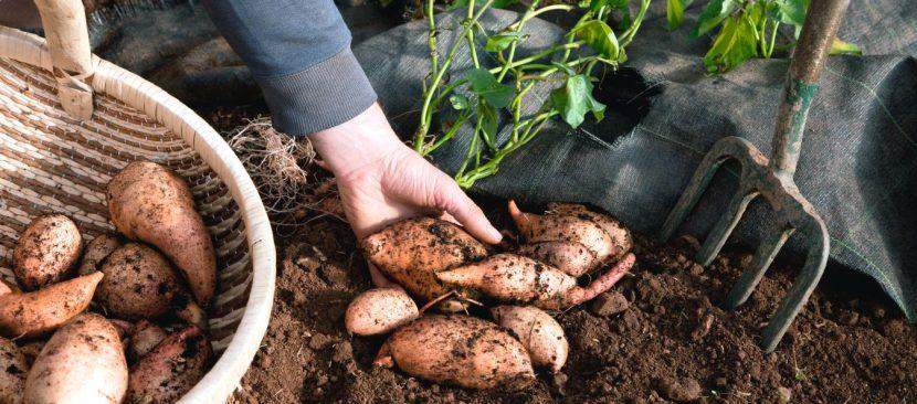 Hướng dẫn các bước trồng khoai lang trong chậu cho nhà phố