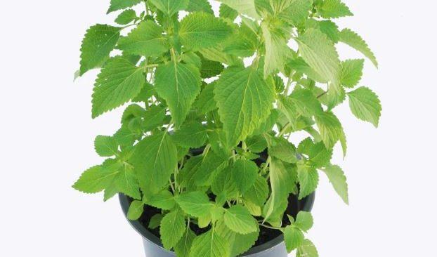 Học cách trồng rau kinh giới ngay tại nhà đảm bảo an toàn