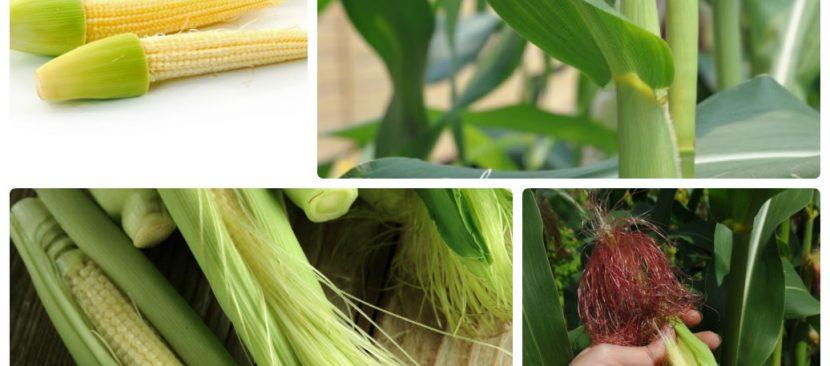 Hướng dẫn chi tiết các bước trồng ngô bao tử đơn giản tại nhà