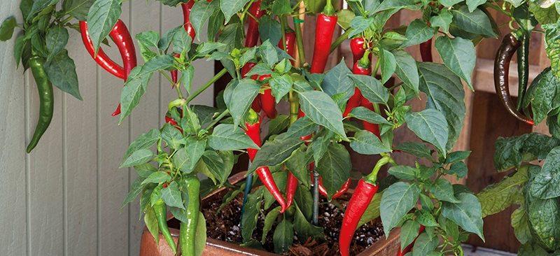 Cách trồng ớt đậu đũa giúp điều chỉnh mỡ máu