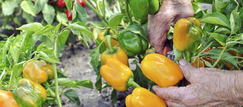 Bí kíp trồng ớt chuông vàng cung cấp vitamin chống oxy hóa