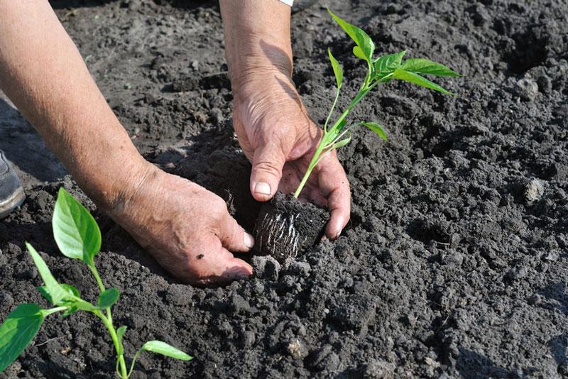 Hay đem trồng vào khu đất nhỏ sau vườn để có môi trường phát triển tốt nhất.