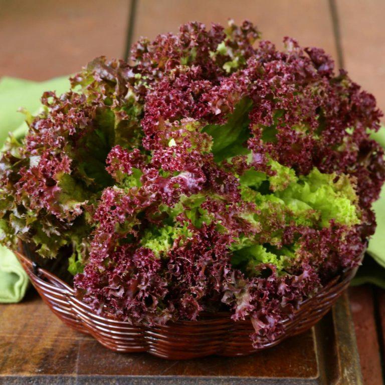 Hướng dẫn các bước trồng rau diếp xoăn