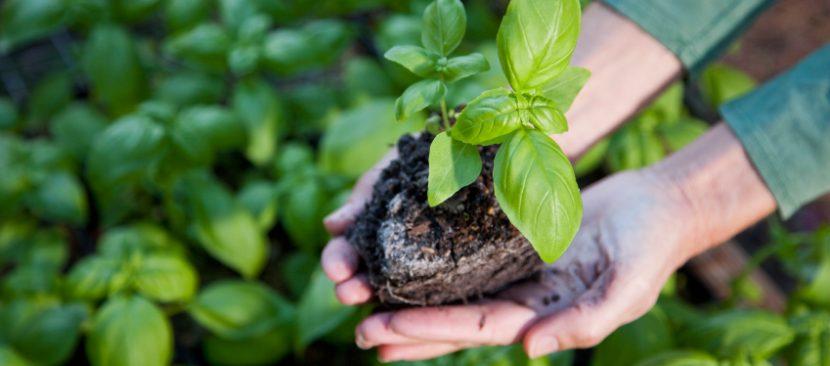 Hướng dẫn chi tiết các bước gieo hạt trồng rau húng tây ngọt