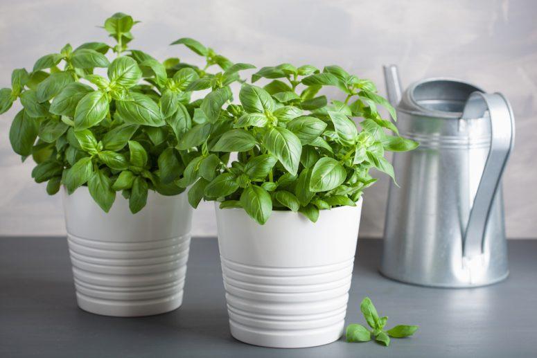 Rau húng tây Basil thực chất là húng quế nhưng lá trơn to được dùng nhiều trong ẩm thực Châu Âu nên được gọi là húng tây để phân biệt với húng quế ở Việt nam.