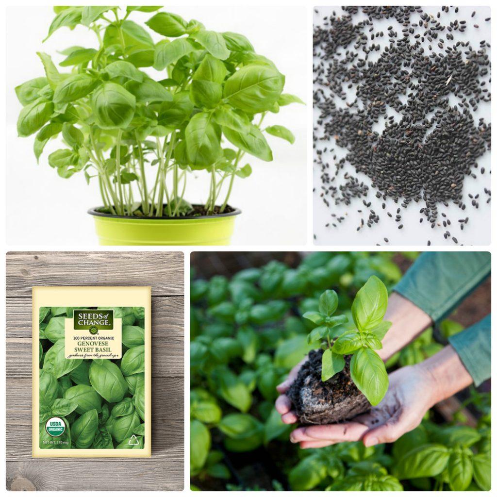 Hạt giống trồng rau húng tây