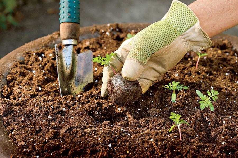 Bổ sung vôi bột hoặc vỏ trứng để cải tại đất, điều này sẽ giúp kiểm soát được độ PH – hạ phèn.